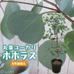 丸葉ユーカリ 『 ポポラス 』 6号鉢植え