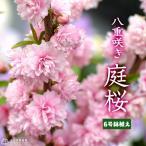 庭桜 ニワザクラ ピンク 八重咲き  6号鉢植え 《花芽付き》