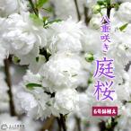 庭桜 ニワザクラ 白花 八重咲き  5.5号鉢植え 《花芽付き》