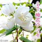 八重咲き梅花ウツギ (五月梅) 5号鉢植え