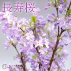 長寿桜 ( チョウジュザクラ ) 4号鉢植え 花芽付き <今だけポイント10倍 2/21昼迄>