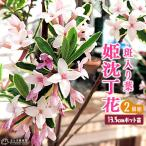 ショッピング春 斑入りジンチョウゲ 『覆輪姫沈丁花』 13.5cmポット苗 2個セット 送料無料
