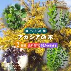 アカシアの木 2個セット 送料無料 (ブルーブッシュ、三角葉、パール、プルプレア) 10.5cmポット苗 選べる品種