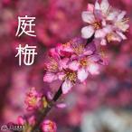 『 庭梅 (ニワウメ) 』 林生梅 6号鉢植え <※お届け時には、今期の花は終了しています>