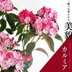 カルミア 『 オスボレッド 』 15cm鉢植え 花芽付き