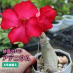 砂漠のバラ ( アデニウム ) 4号鉢植え (選べる花色 人気品種2色)