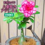 天空のバラ ( 八重咲き アデニウム ) 4号鉢植え (選べる花色 人気品種2色)