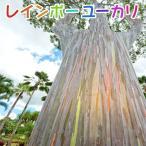 【珍種】ユーカリの木 『 レインボーユーカリ 』 12cmポット苗 ( 別名:ミンダナオガムツリー )