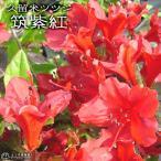 久留米ツツジ『筑紫紅』13.5cmポット苗