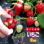 選べる品種 いちご苗 9cmポット苗 2個組
