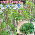 ウコギ 『 ヒメウコギ 』 12cmポット苗木