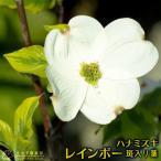 花も実も綺麗、黄色い斑入りの葉が珍しい!