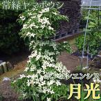 常緑ヤマボウシ 『ホンコンエンシス(月光)』 挿し木 10.5cmポット苗