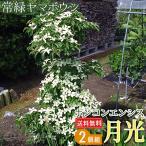 常緑ヤマボウシ 『ホンコンエンシス(月光)』 挿し木 10.5cmポット苗 2個セット