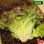 【送料無料】佐賀県産 サニーレタス 秀品・12玉〜18玉入り(1箱)