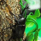 (国産) カブトムシ 成虫 フリーサイズ オス