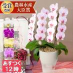 ギフト あすつく 開院祝い 花 鉢花 洋蘭 供花 長寿 還暦 ミディ