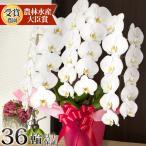 満開選べる ギフト 開院祝い 花 鉢花 洋蘭 供花 長寿 還暦