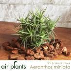 エアプランツ 観葉植物 ミニ 植物 チランジア エアープランツ アエラントスミニアータ