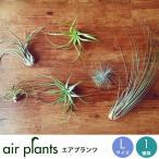 エアプランツ Lサイズ 観葉植物 ミニ 植物 チランジア エアープランツ