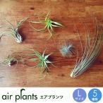 選べる5種 エアプランツ Lサイズ 観葉植物 ミニ 植物 チランジア エアープランツ