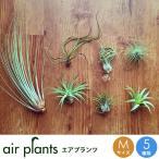 選べる5種 エアプランツ Mサイズ 観葉植物 ミニ 植物 チランジア エアープランツ