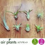 選べる3種 エアプランツ 観葉植物 Sサイズ  ミニ 植物 チランジア エアープランツ