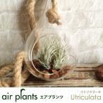 エアプランツ 観葉植物 ミニ 植物 チランジア エアープランツ ウトリクラータ