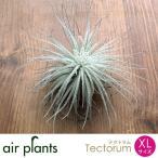 エアプランツ 観葉植物 ミニ 植物 チランジア エアープランツ テクトラム XL