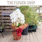 胡蝶蘭 ギフト お祝い 大輪3本立ち 白系 輪数 27輪以上 高さ:約65cm 毎日限定5鉢