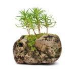 苔玉  黒松 石付き 観葉植物 盆栽
