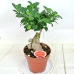 ガジュマル 4号プラ鉢 大人気 観葉植物 おしゃれ