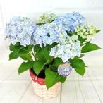 【アウトレット】アジサイ ありがとう 3980円→1780円 きれいなブルー 5号鉢 花終わり