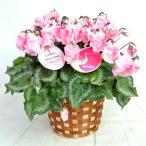 Yahoo!RoseFactory.netプレミアムシクラメン ロココスイート 香るシクラメン 5号底面給水鉢(AL) かご付き 送料無料