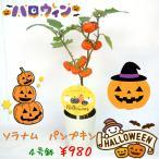 ソラナム パンプキン 4号鉢 ハロウィン仕様 簡単に飾れます