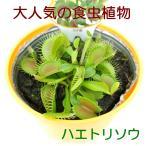食虫植物 ハエトリグサ ハエトリソウ 3.5号鉢 大人気