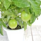 パッションフルーツ 実付き 【6号鉢】グリーンカーテン 緑のカーテン クダモノトケイソウ 果物時計