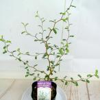 ソフォラ ミクロフィラ【3号】メルヘンの木 リトルベイビー おしゃれな木 観葉植物