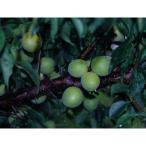 梅 豊後 ぶんご  12cmポット