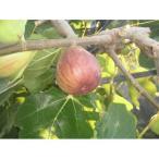 果樹苗 イチジク ドーフィン/12cmポット
