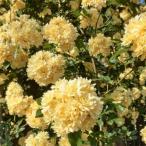 バラ苗 2年大株苗 黄木香 モッコウバラ オールドローズ 6号丸鉢 ◆予約販売◆ 10月上旬出荷予定