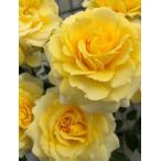 【ラルーチェ】フレグランスローズ バラ大苗6号鉢 ローズなかしま オリジナル品種 産地直送