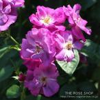 (アウトレット)苗B バラ苗 ラプソディーインブルー 6号スリット鉢 フロリバンダ(FL) 四季咲き中輪 半つる性 モダンシュラブローズ 紫系