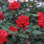 バラ苗 イングリッドバーグマン 国産大苗6号スリット鉢 ハイブリッドティー (HT) 四季咲き大輪 赤系