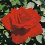 バラ苗 乾杯 国産大苗6号スリット鉢 ハイブリッドティー(HT) 四季咲き大輪 赤系