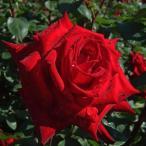 バラ苗 熱情(ねつじょう) 国産大苗6号スリット鉢 ハイブリッドティー(HT) 四季咲き大輪 赤系
