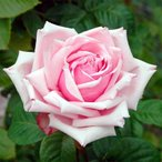アウトレット バラ苗 ラフランス ハイブリッドティー  HT 四季咲き大輪 ピンク系