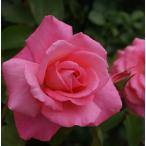 バラ苗 芳純(ほうじゅん) 国産大苗6号スリット鉢 ハイブリッドティー(HT) 四季咲き大輪 ピンク系