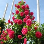 予約苗 バラ苗 つるローズうらら 国産大苗裸苗 四季咲き つるバラ(CL) ピンク系 (12月上旬順次発送)