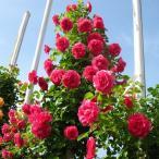 バラ苗 つるローズうらら 国産大苗6号スリット鉢 返り咲き つるバラ(CL) ピンク系